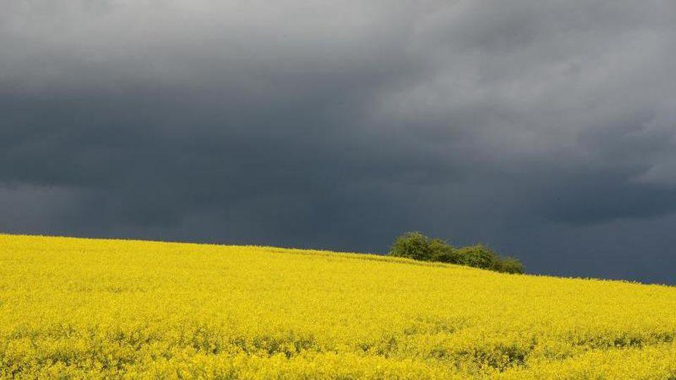 Ein Rapsfeld vor Gewitterwolken. Foto: Harald Tittel/Archivbild